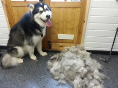 kumu-alaskan-malamute-with-hair-after-groom