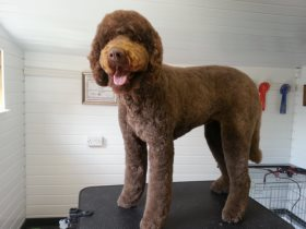 Darcy the big cuddly labradoodle after grooming
