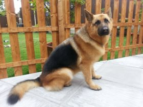 emma-gorgeous-german-shepherd-groomed-and-styled-ready-for-cheshire-show