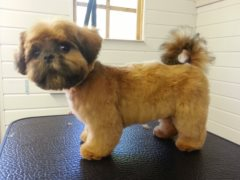Coco - after grooming!