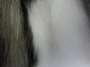 Healthy uncut coat which is thick, smooth and a perfect texture for the breed of dog
